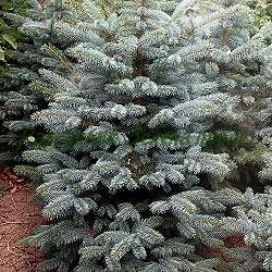 Picea pungens_сребрист смърч__Pinaceae