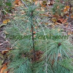 Pinus strobus_Веймутов бор__Pinaceae