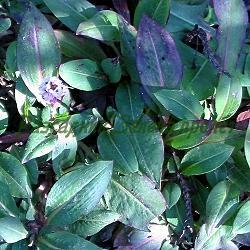 Polygonum affine, Bistorta affinis_Полигонум__Polygonaceae