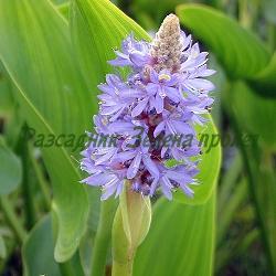 Pontederia cordata_Понтедерия, Воден зюмбюл__Pontederiaceae