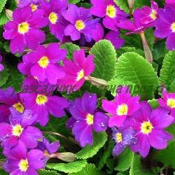Primula acaulis, Primula vulgaris_Обикновена иглика, Безстъблена иглика_Wanda_Primulaceae