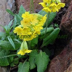 Primula officinalis, Primula veris_Обикновена иглика, Пролетна иглика, Лечебна иглика__Primulaceae