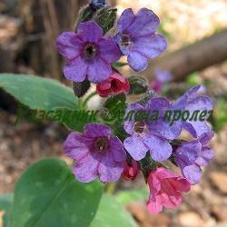 Pulmonaria species - сортове (Пулмонария, Медуница, Меча пита) - сем. Boraginaceae