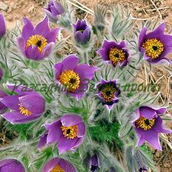 Pulsatilla vulgaris - сортове (Пулсатила, Съсънка, Котенце) - сем. Ranunculaceae