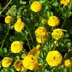 Ranunculus acris_Лютиче_Flore Pleno_Ranunculaceae