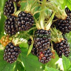 Rubus hybrida_Къпина без бодли_Evergreen Thornless_Rosaceae