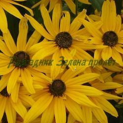"Rudbeckia fulgida - сорт var. sullivantii ""Goldsturm"" (Рудбекия блестяща), Compositae, Asteraceae"