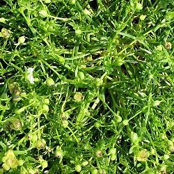 Sagina subulata - сортове (Сагина, Мъховка) - сем. Caryophyllaceae