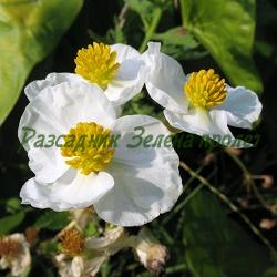 Sagittaria latifolia_Широколистен стрелолист__Alismataceae