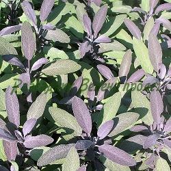 Salvia officinalis - сорт Atropurpurea (Салвия, Градински чай), Labiatae , Lamiaceae
