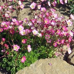 Saxifraga X arendsii_Каменоломка__Saxifragaceae