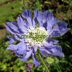 Scabiosa caucasica_Скабиоза кавказка, Самогризка_Perfecta Blue_Dipsacaceae