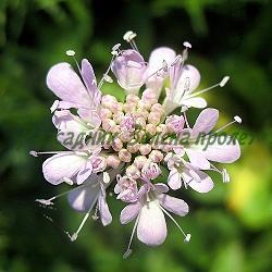Scabiosa columbaria - сорт Nana Pink (Скабиоза, Гълъбова самогризка), Lamiaceae