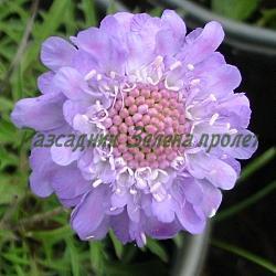 Scabiosa japonica_Скабиоза, Самогризка_ALPINA_Dipsacaceае