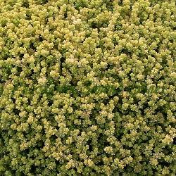 Sedum acre - сорт Yellow Queen (Лютива тлъстига), Crassulaceae