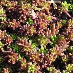 Sedum album - сортове (Тлъстига бяла, Седум бял) - сем. Crassulaceae