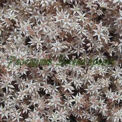Sedum dasyphyllum_Седум, Гъстолистна тлъстига__Crassulaceae