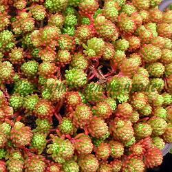 Sedum lydium_Тлъстига, Седум лидийски__Crassulaceae