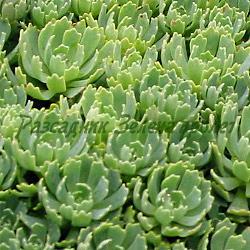 Sedum pachyclados_Тлъстига, Седум дебелолистен__Crassulaceae