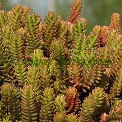 Sedum sexangulare_Седум шестостранен__Crassulaceae