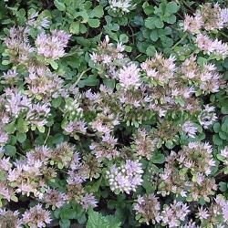 Sedum spurium - сорт species, основен вид (Лъжлив седум), Crassulaceae
