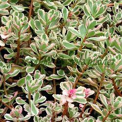 Sedum spurium - сорт Variegata (Лъжлив седум), Crassulaceae