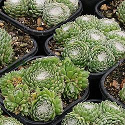 Sempervivum sp. - mix_Семпервивум, Паяжинест дебелец __Crassulaceae