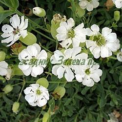 Silene uniflora, S.glariosa, S.maritima - сорт ssp.maritima (Силене, Плюскавиче морско), Caryophyllaceae