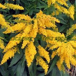 Solidago canadensis_Солидаго, Канадска златна пръчка_Nana_Compositae (Asteraceae)