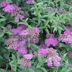 Spiraea X bumalda (japonica) - сорт Antony Waterer (Спирея японска), Rosaceae