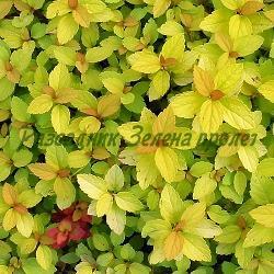 Spiraea X bumalda (japonica) - сорт Golden Princess (Спирея японска), Rosaceae