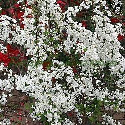 Spiraea prunifolia_Спирея сливолистна_Plena_Rosaceae
