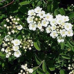Spiraea X vanhouttei_Спирея майски сняг__Rosaceae