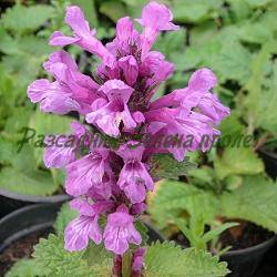 Stachys grandiflora, Betonica grandiflora,  Stachys macrantha_Едроцветен стахис, Едроцветен ранилист__Labiatae