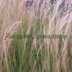 Stipa tenuissima_Стипа, Коило__Poaceae