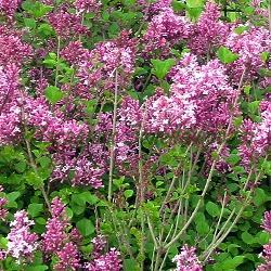 Syringa microphylla, Syringa pubescens, ssp. microphylla_Дребнолистен люляк__Oleaceae