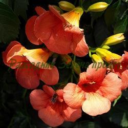 Tecoma radicans (Campsis radicans)_Текома, Кампсис_Oсновен вид (оранжев) + Gabor, Flamenko (червени) _Bignoniaceae