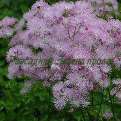 Thalictrum aquilegifolium_Таликтрум, Обичниче кандилколистно__Ranunculaceae
