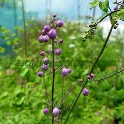 Thalictrum delavayi_Обичниче, Таликтрум Делавей__Ranunculaceae