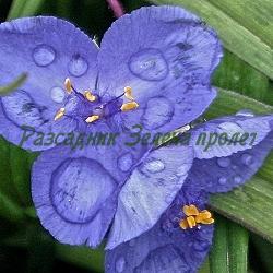 Tradescantia X andersoniana - сорт Blue (Градинска традесканция, Сънлива традесканция), Commelinaceae