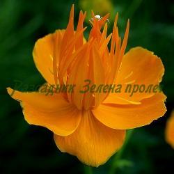 Trollius chinensis_Тролиус азиатски, Тролиус китайски_Golden Queen_Ranunculaceae