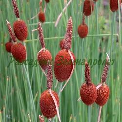 Typha minima_Малък папур__Typhaceae