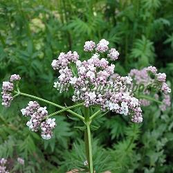 Valeriana officinalis_Валериана, Дилянка, Котешка билка __Valerianaceae