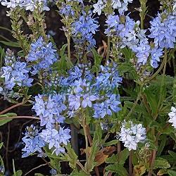 Veronica prostrata_Вероника, Великденче полегнало_Nestor_Scrophulariaceae