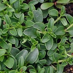 Veronica repens_Вероника пълзяща, Великденче пълзящо__Scrophulariaceae