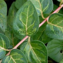 Vinca major - сорт Maculata (Голяма винка, Зимзелен), Apocynaceae