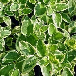 Vinca major - сорт Variegata (Голяма винка, Зимзелен), Apocynaceae
