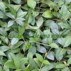 Vinca minor - сортове (Малка винка, Зимзелен) - сем. Apocynaceae