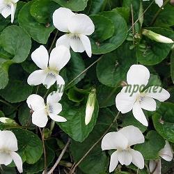 Viola sororia_Теменужка бяла_Albiflora_Violaceae