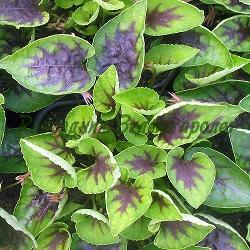 "Viola ""Hearttrob""_Теменужка_Hearttrob_Violaceae"